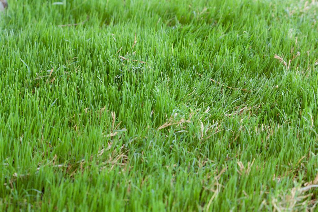 Growing Bermuda Grass Learn About The Care Of Bermuda Grass Bermuda Grass Growing Grass Planting Grass