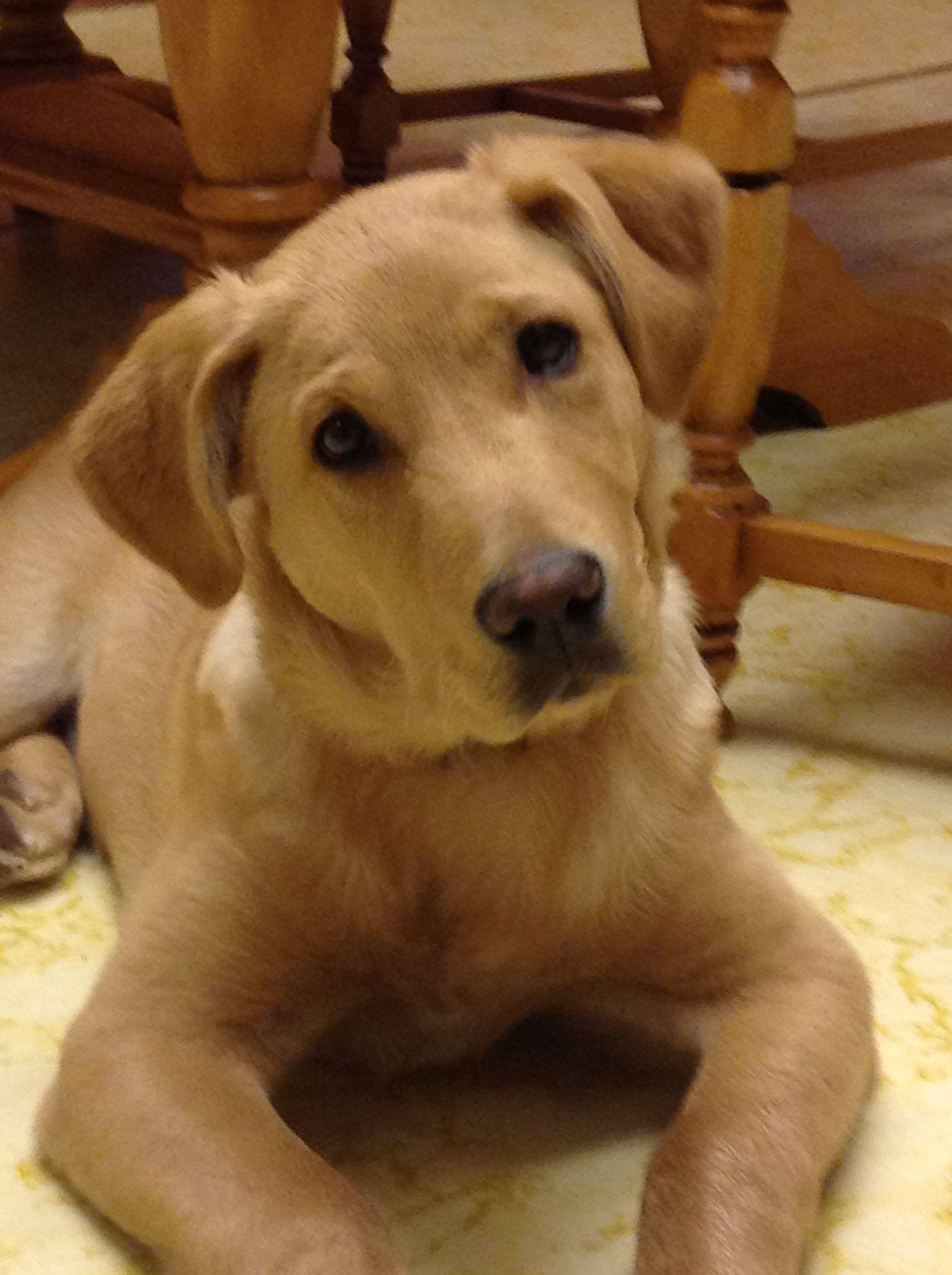 Labrador Retriever Labrador retriever, Dog paintings