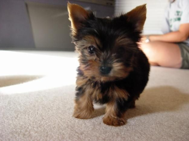 There was someone tryin to sell me a Yorkie. He was definatly not in my price range but now i keep thinking about yorkies now! lol Imaging a small little crazy yorkie chasin' my dog around, cute Image!