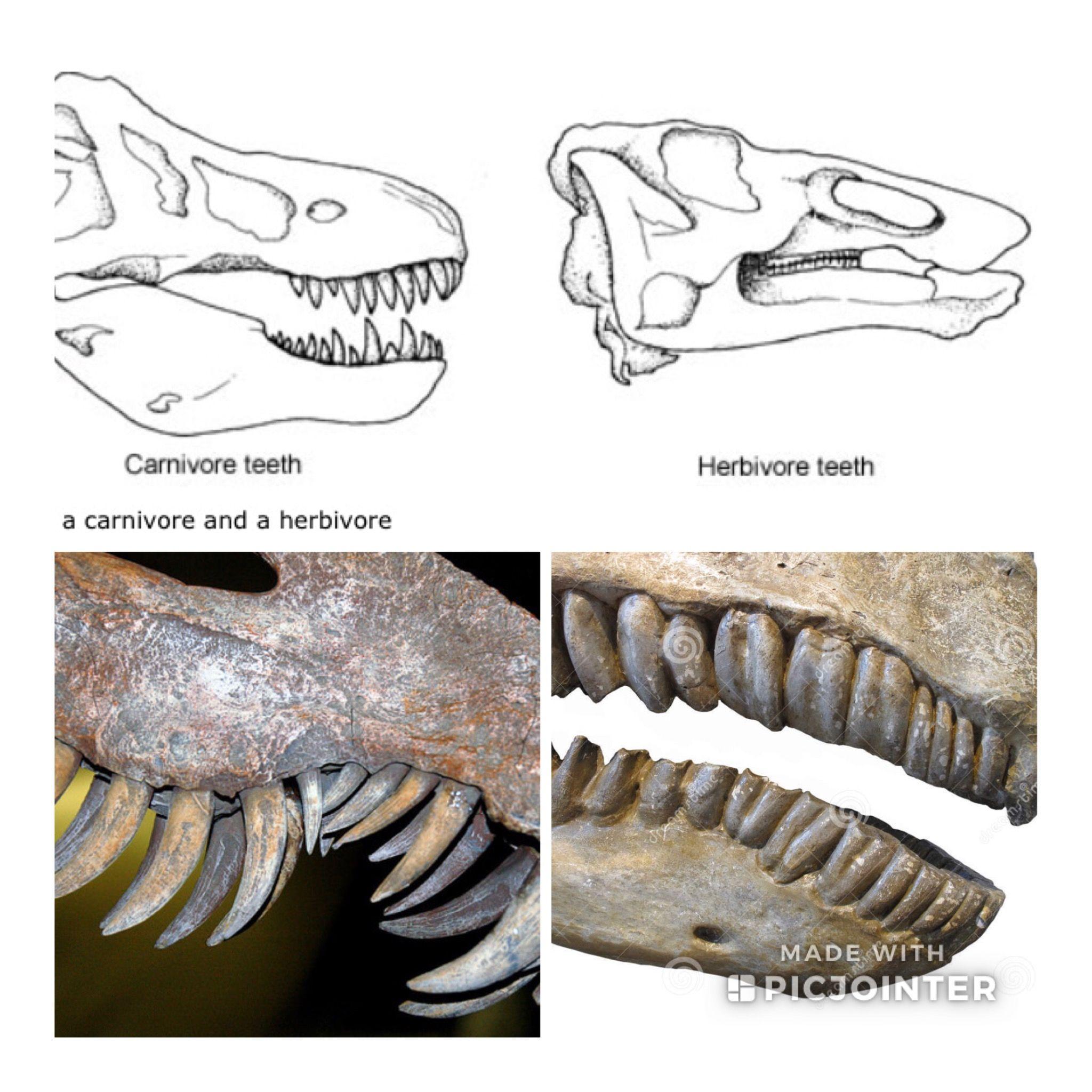 Dinosaur Teeth Comparison Meat Eating Vs Plant Eating