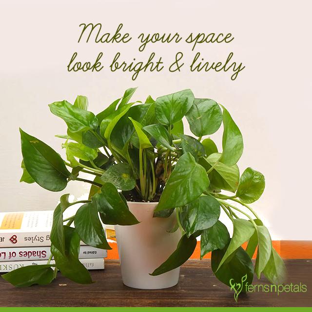 #plants #indoorplants #homedecor #homedecorideas #homedecorquotes #greendecor #green #greengifts #giftideas #plantasgifts #fernsnpetals #fnp