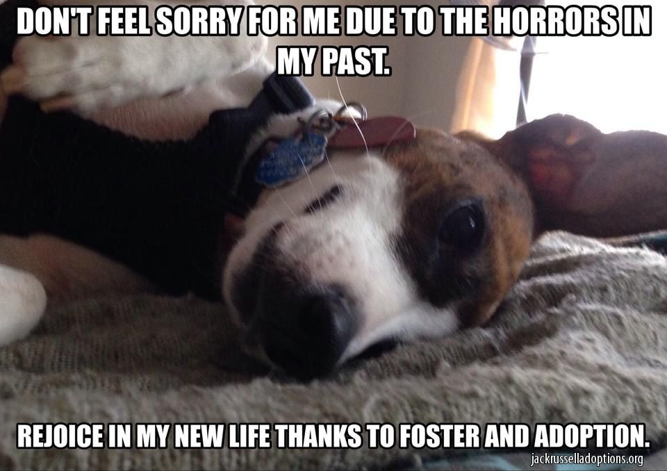 Jack Russell Rescue Memes Georgia Jack Russell Rescue Jack Russell Memes Adoption