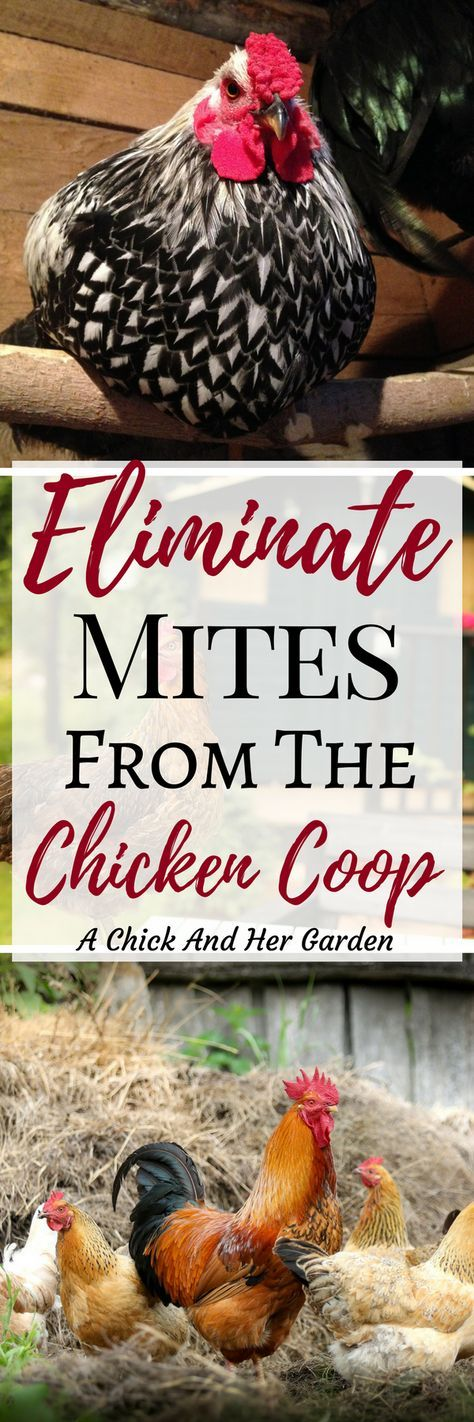 how to treat mites on chickens