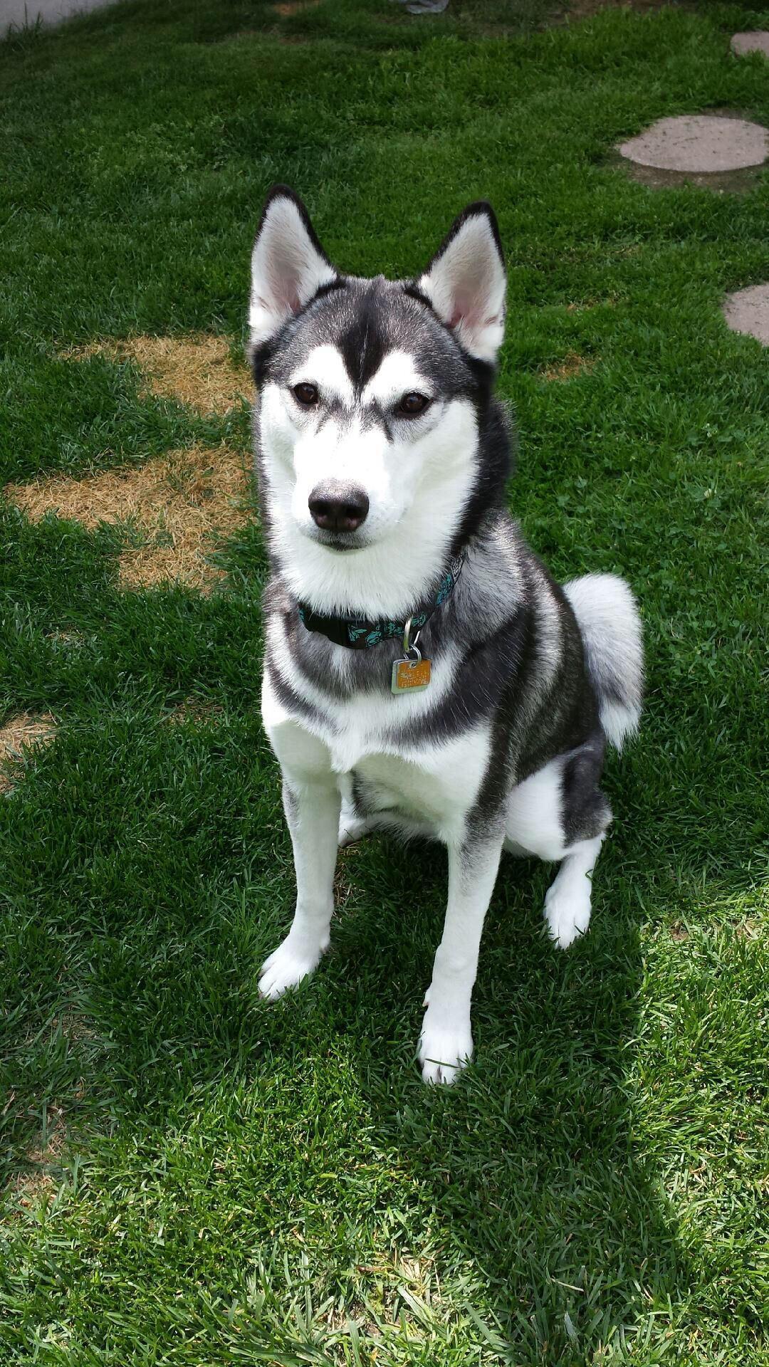 Beautiful Nova Siberian Husky Dog Husky Dogs