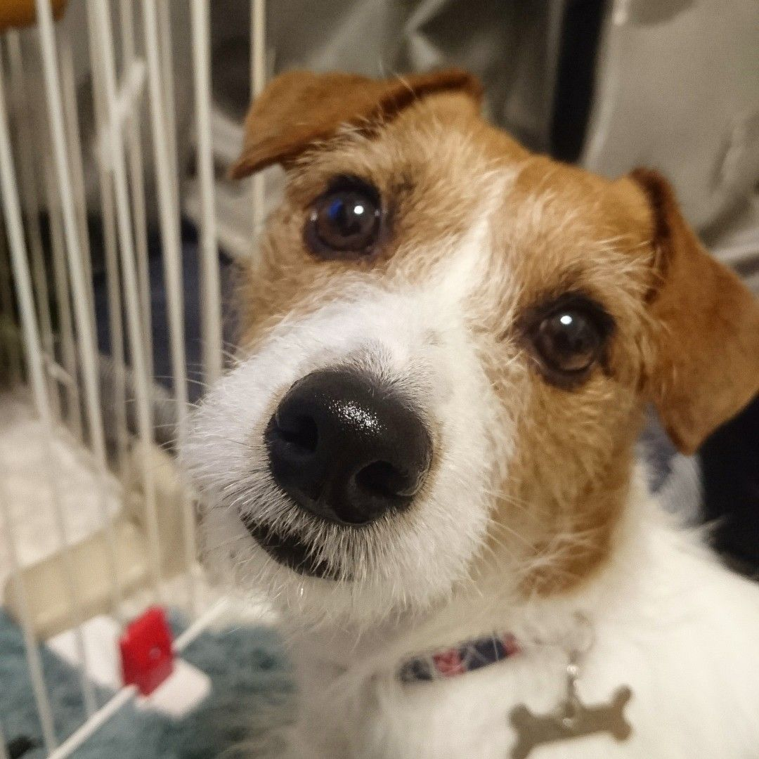 Don T Put Me In Jail I Did Nothing Wrong Jack Russell Dogs