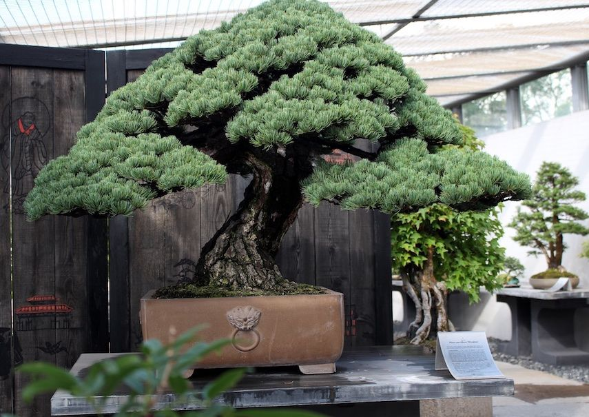 Wonderful Pine In The Crespi Collection Italy Bonsai 盆栽