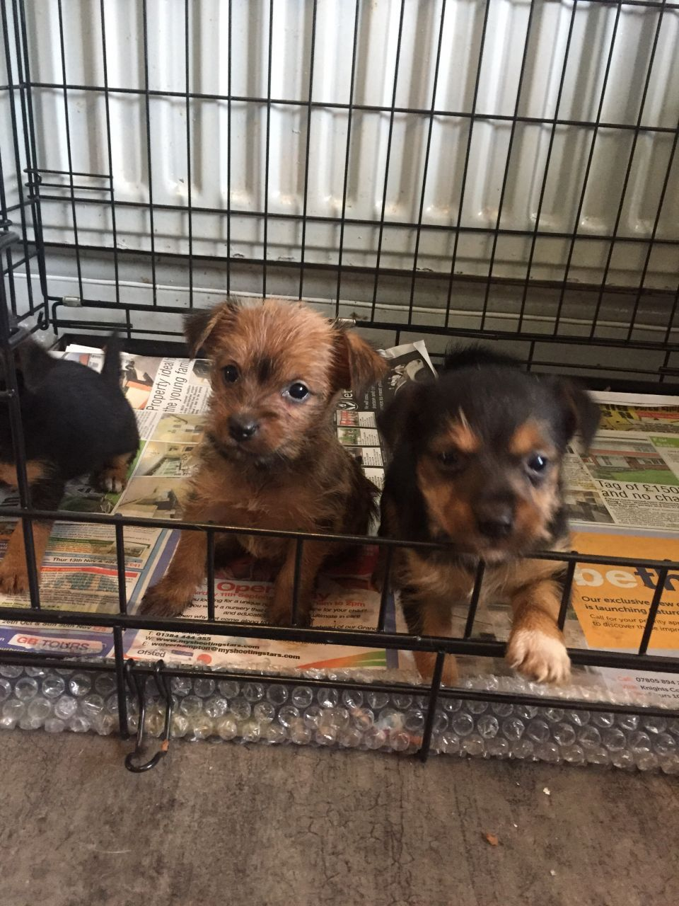 Yorkies X Jack Russell Puppies Jack Russell Puppies Puppies Yorkie