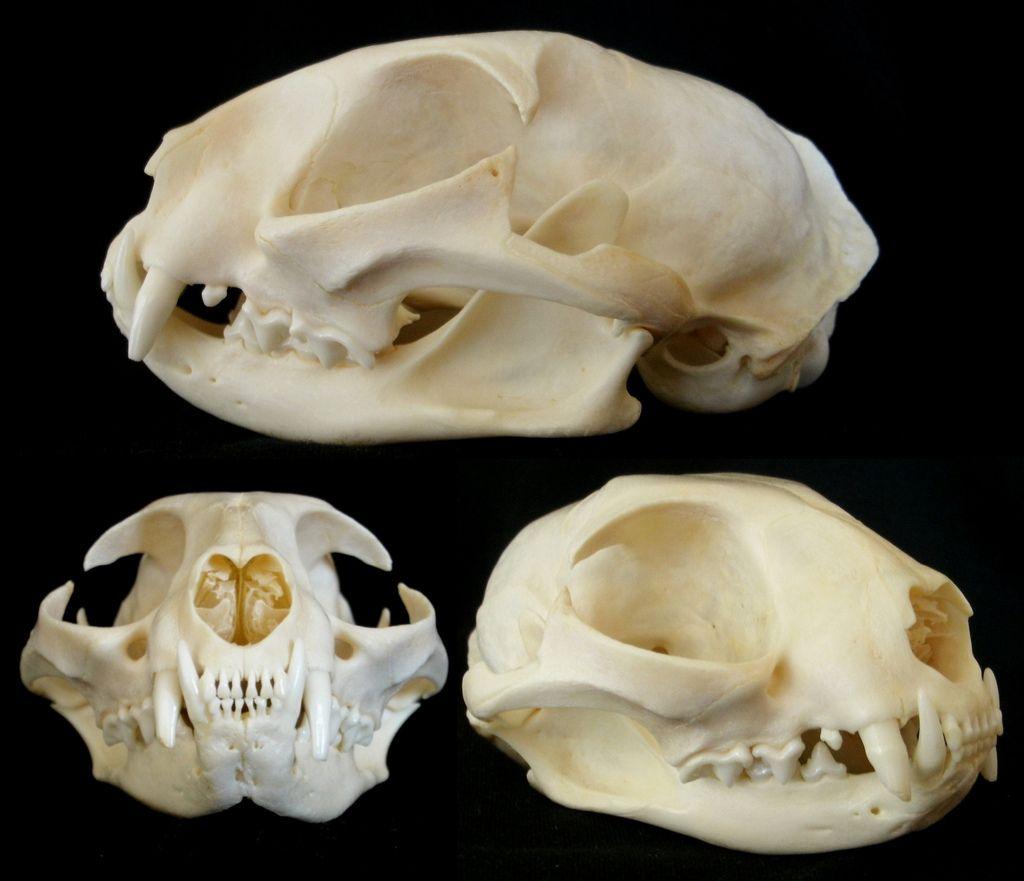 Crâne de Chat / Cat Skull (Felis catus) | Cat skull, Anatomy bones ...