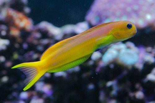 Midas Blenny Marine Aquariums South Africa Marine Fish Saltwater Fish Tanks Salt Water Fish
