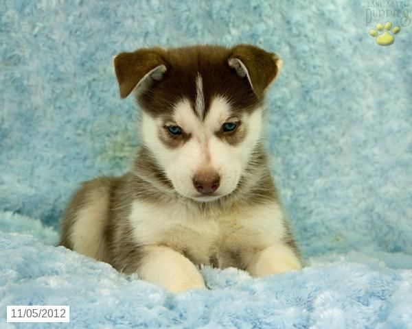 Howard Siberian Husky Puppy For Sale In Liverpool Pa Dog