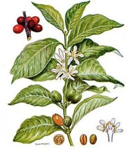 Coffee plant- I like all of the parts:  flowers and cherries, especially.