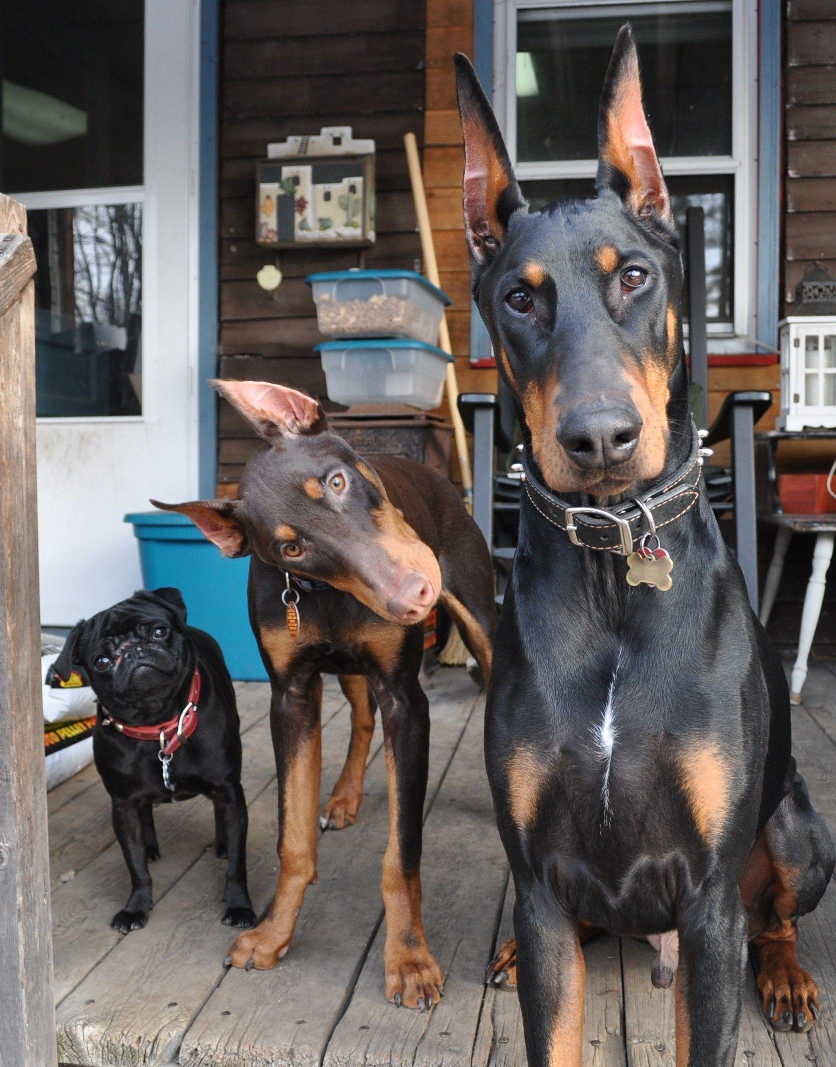Doberman Pinscher Loyal And Fearless Perros Doberman Mascotas
