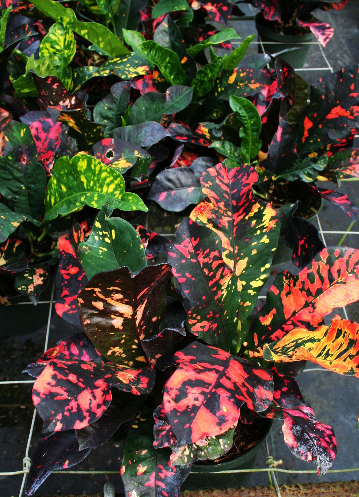 Blondie's Treehouse Inc, green plants, greenhouse, Croton
