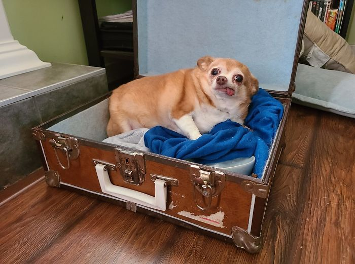 Im Housesitting For Some Family Friends And They Mention Theyre Dogsitting, No Details. Meet Princess, Shes Toothless, Sleeps In An Old Suitcase, And... Yes, Shes Chubby, Look We Just Met. I Cant Judge