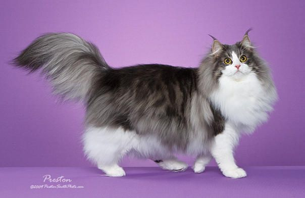 Pin By My Humble Hut On Cats That Look Like Mine Norwegian Forest Cat Forest Cat Cat Cuddle