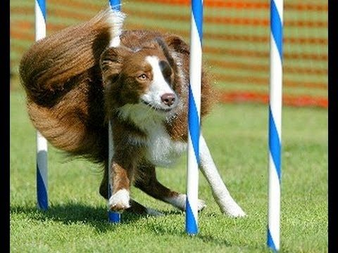 Dog Agility- Seven Nation Army   Dog agility, Working dogs ...