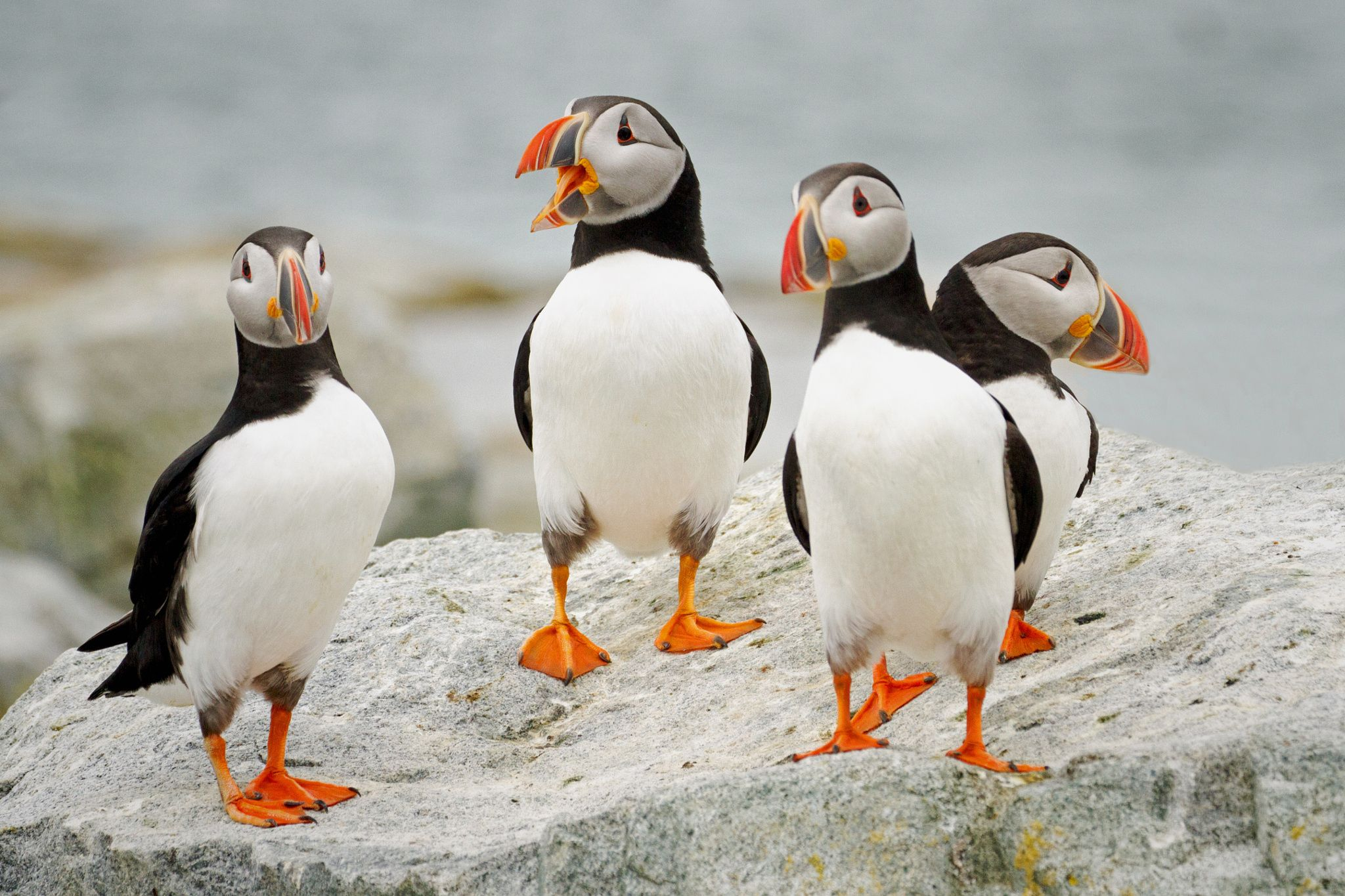 Puffin Party By Barbara Motter 500px Dipinti Illustrazioni