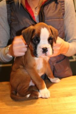 Gentle and Calm Boxer Puppies for sale Brindle and white