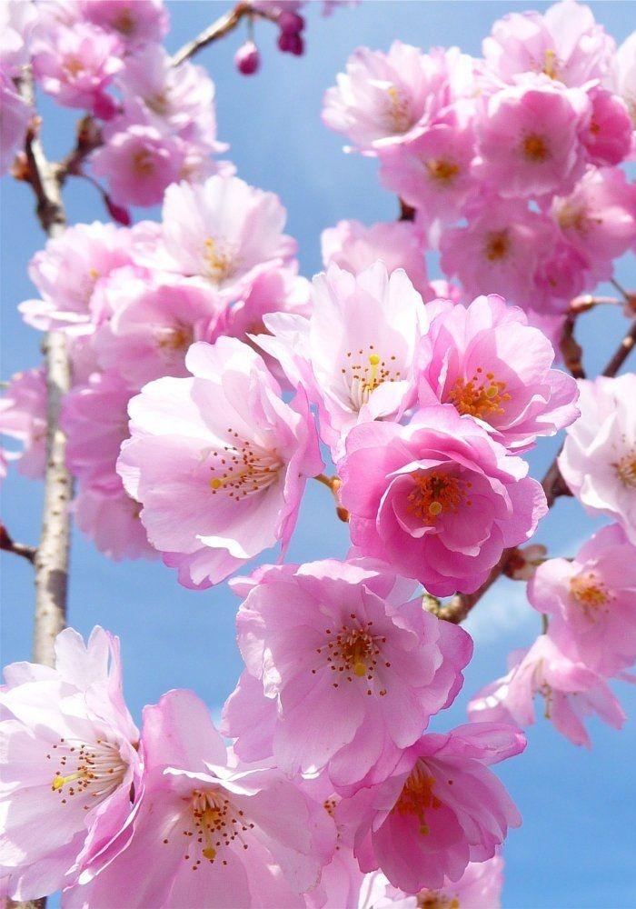 Cherry Blossom Sakura Flowering Cherry Tree Blossom Trees Cherry Blossom Festival