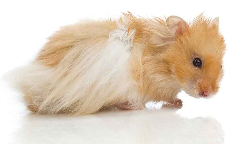 Teddy Bear Hamster Facts 14 Reasons To Buy A Syrian Hamster