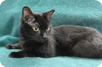 Blackwood, NJ - Domestic Shorthair. Meet Cierra, a cat for adoption. http://www.adoptapet.com/pet/12226180-blackwood-new-jersey-cat