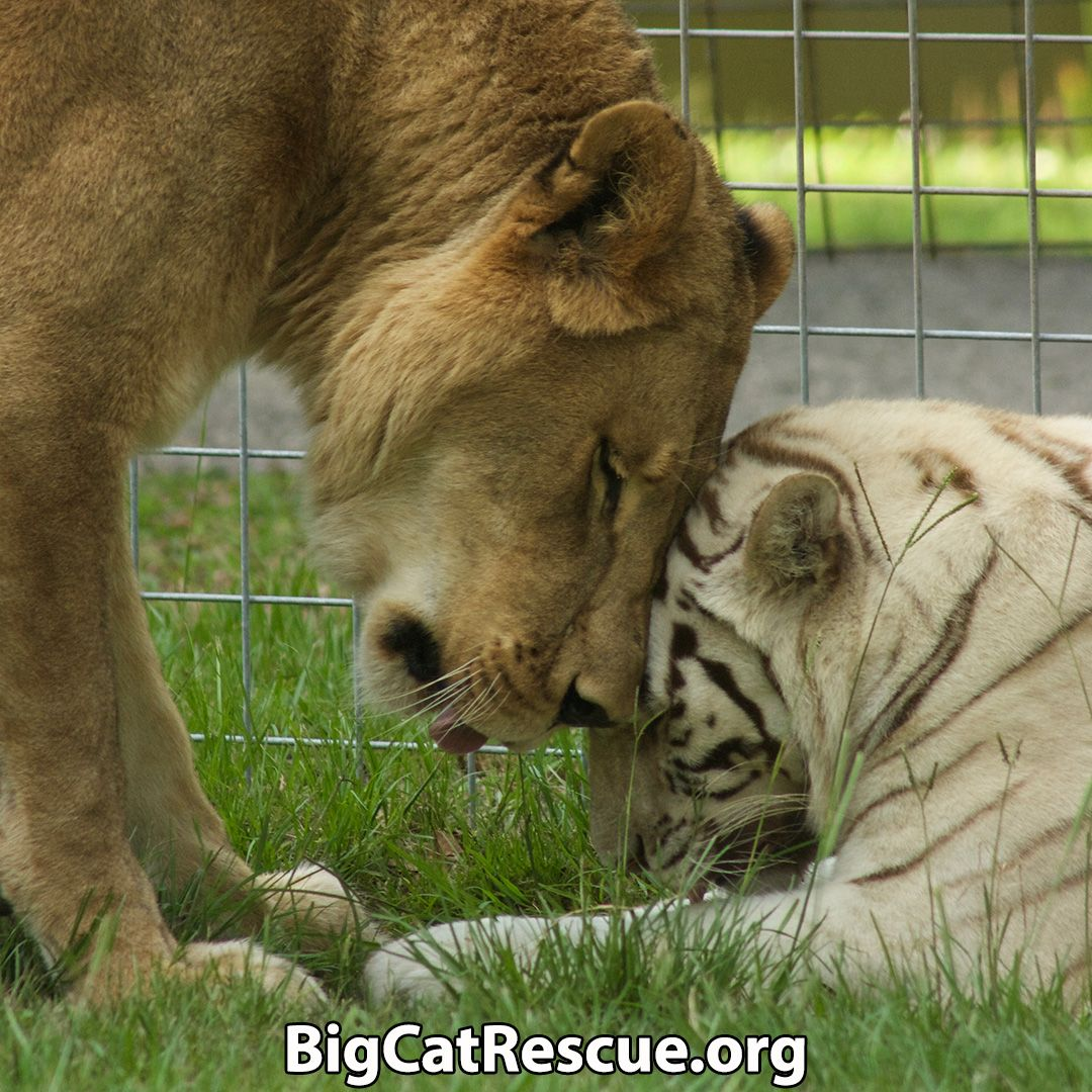 Safari Days Big Cat Rescue Big Cats Small Wild Cats