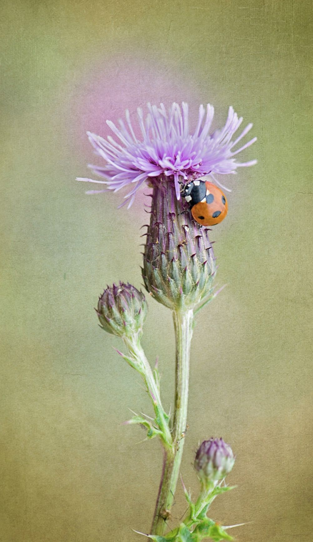 Pin by Acacia Studios on Animals Lovely Ladybugs/Beetles