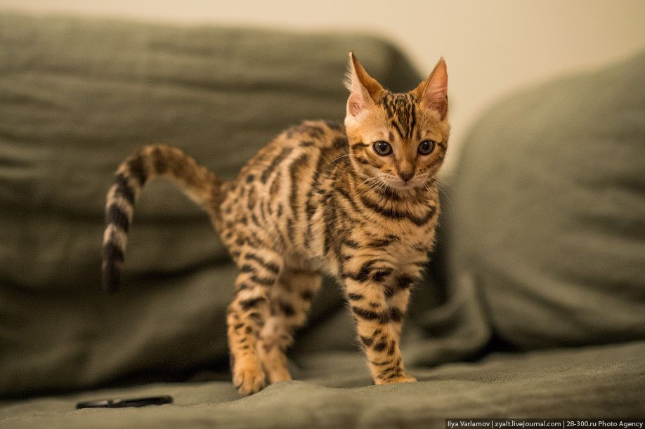 лапки кошки барса след вязание крючком