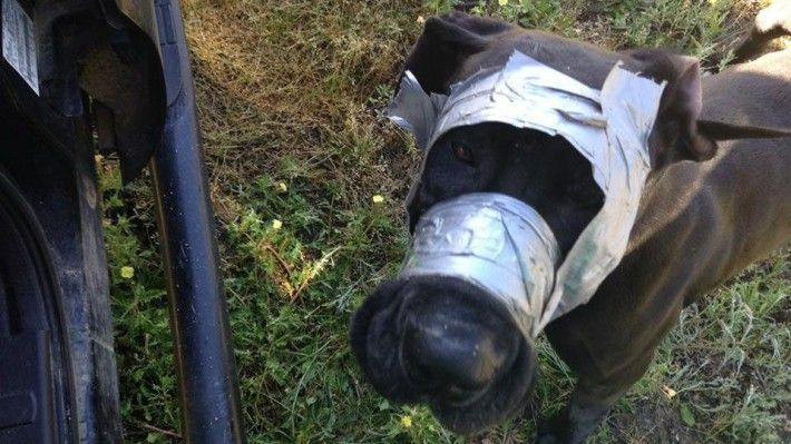 This Poor Great Dane Was Found By Police With Duct Tape Around Her