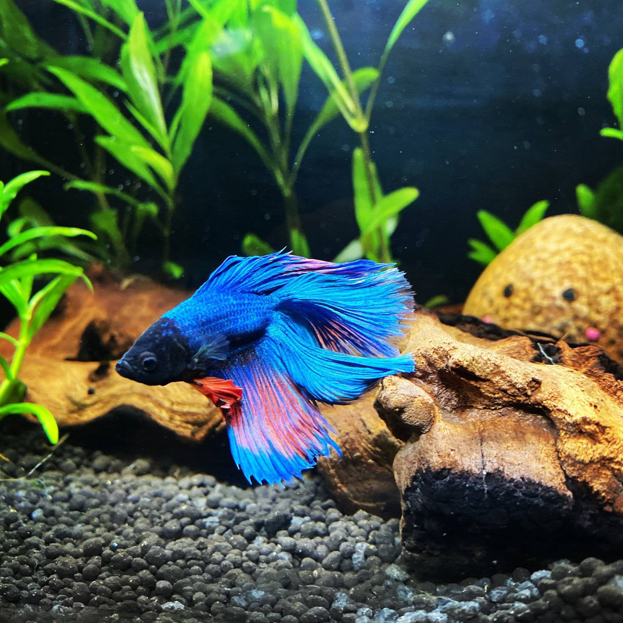 Betta Fish Getting Good Amount Of Fin Regrowth Now I Have Removed My Rocks In 2020 Betta Fish Betta Fish