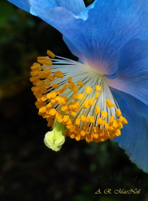 Himalayan Poppy - Vancouver, British Columbia