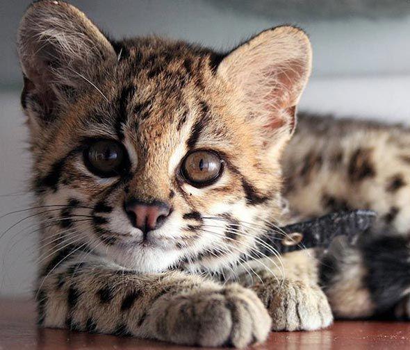 Good Morning Kitten Margay Kitten Redux September 16 2012 Wild Cats Small Wild Cats Kittens Cutest