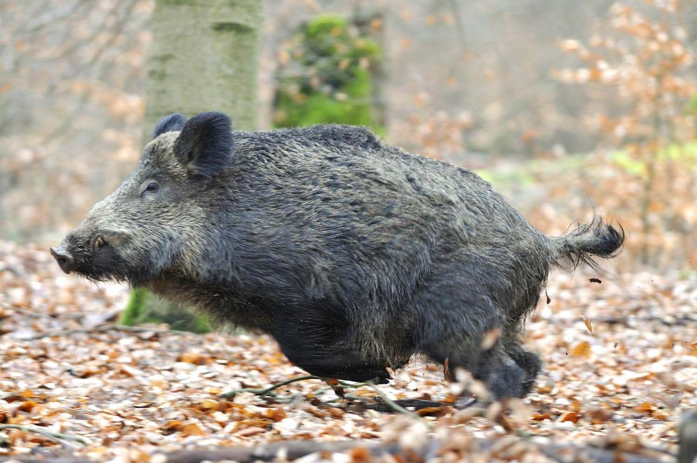 Nice Wildschwein Angst in Stahnsdorf Jungs retten sich auf Baum