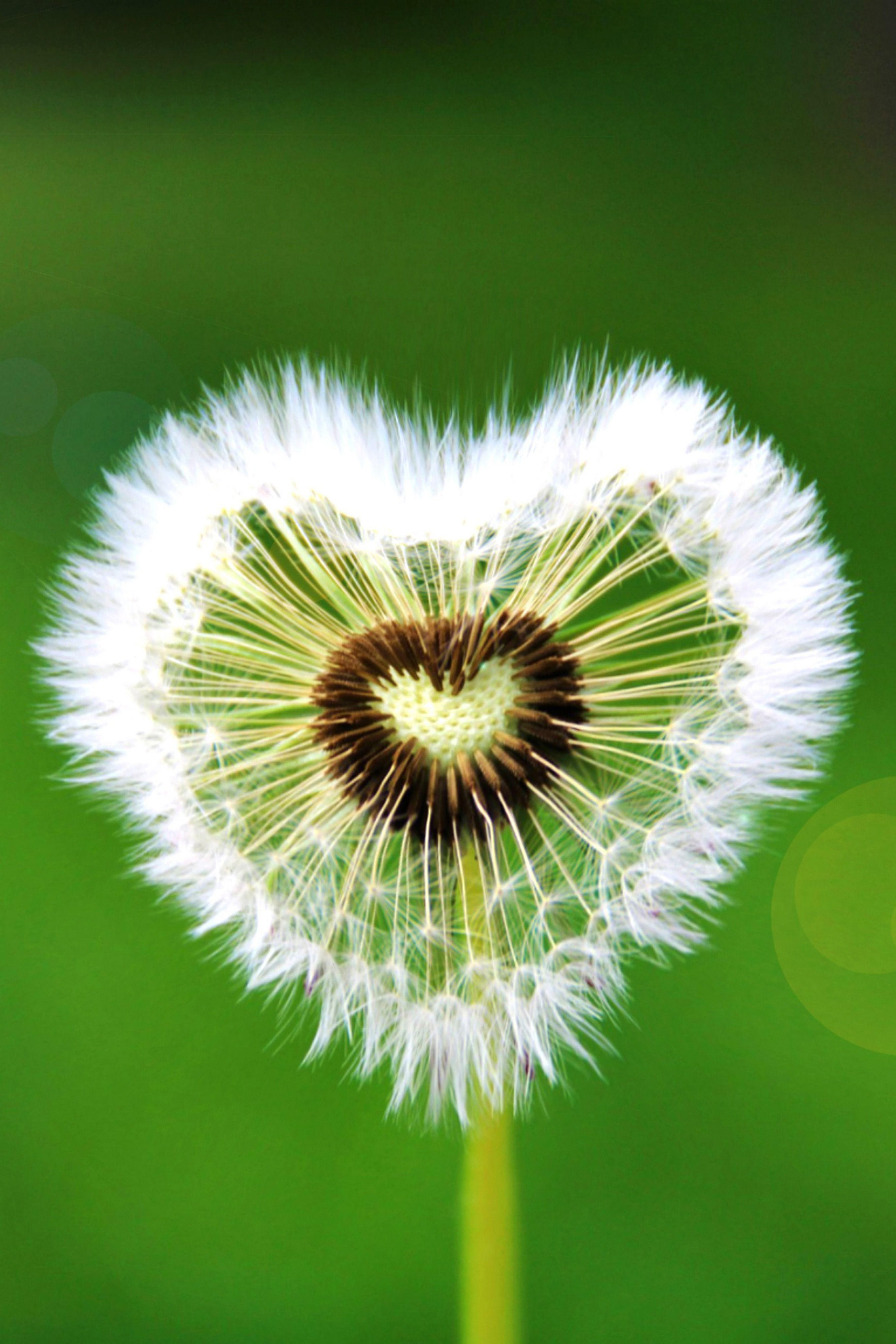 Heart Dandelion Green Flare Flower Photooftheday