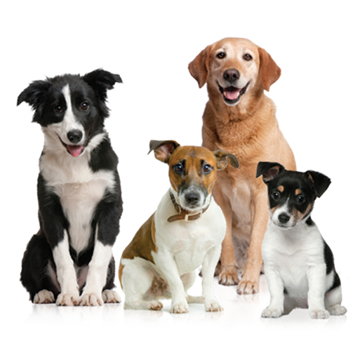 Bone Sweet Bone Is The Place Where Your Dog Will Get All Services Facilities Like Dog Grooming Local Dog Care Dog Boarding I Dogs Dog Groomers Bull Terrier