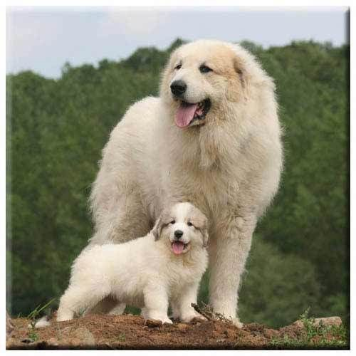Great Pyrenees With Images Great Pyrenees Great Pyrenees Dog