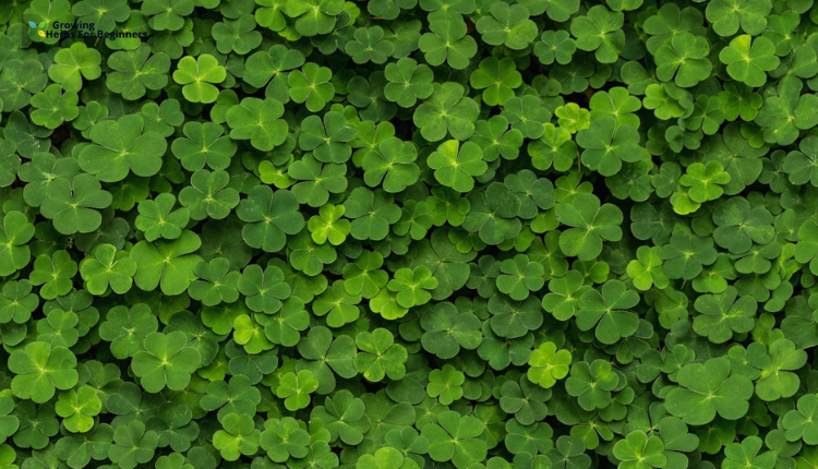 How To Get Rid Of Clover Naturally In 2020 Get Rid Of Dandelions Clover Clover Lawn