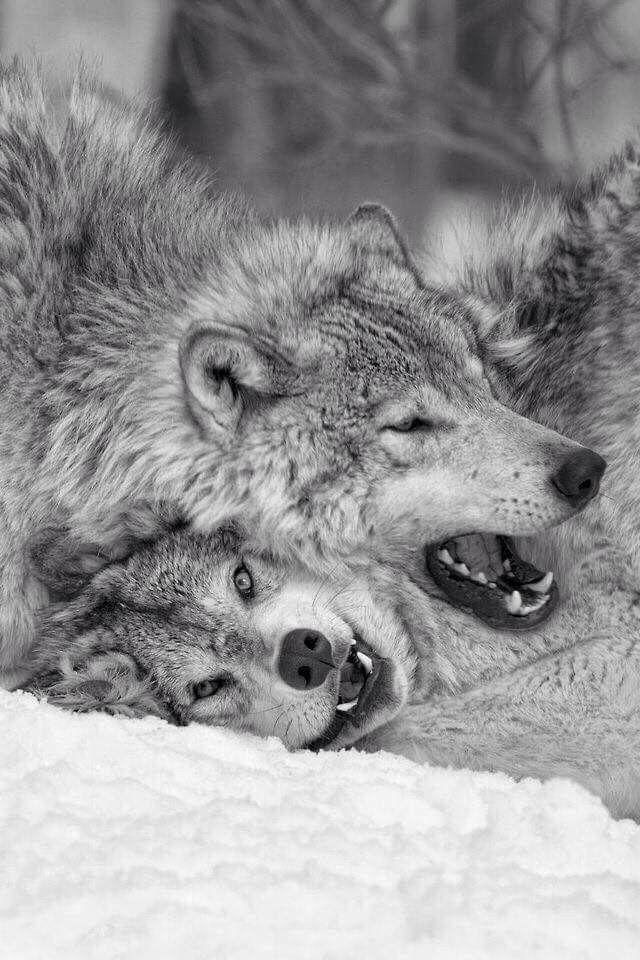 Pin Von Wizzel Wolle Auf Wolf Fuchs Und Fantasy Tiere Wolf Wolfsbilder