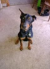 The Elka Almanac: Remmy, looking for love in Bangor Pennsylvania adoptable from DOBER (Dreaming of Better Endings Rescue)   http://www.doberinc.com/5.html
