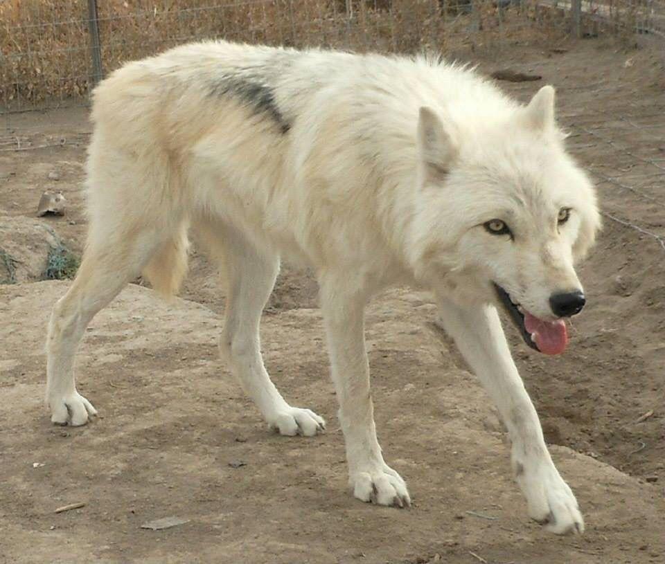 high content wolfdog   Favorite Dog breeds   Pinterest ...