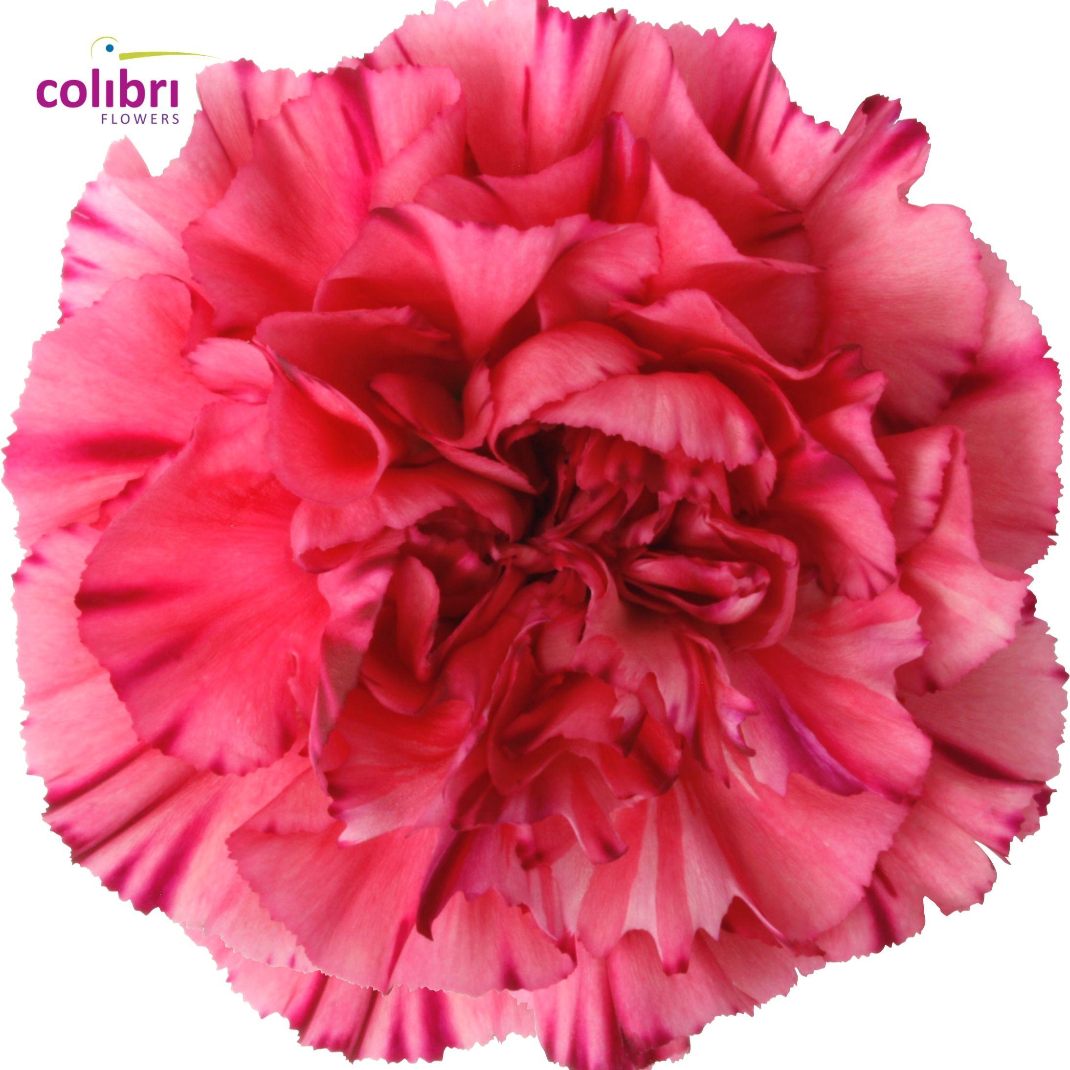 Carnation Bernard Carnations Flowers Rose