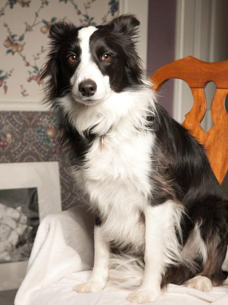 Doginsweater Com Collie Dog Border Collie Lover Animal Humor Dog