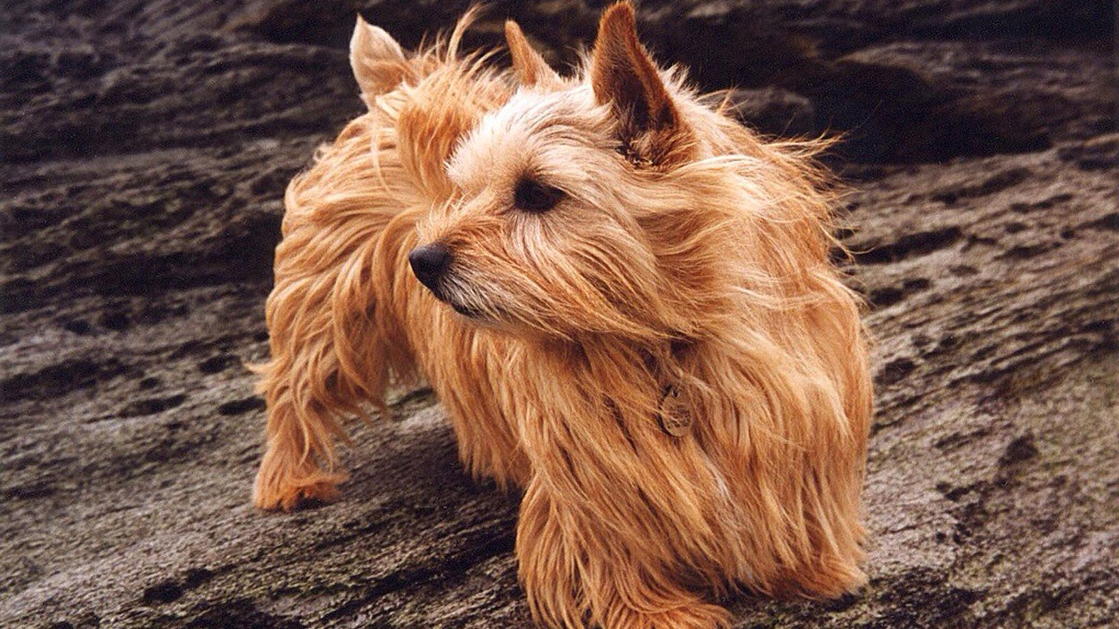 A Newly Discovered Mutation May Explain Why Some Dogs Can T Breathe Well Norwich Terrier Dogs Dog Dna