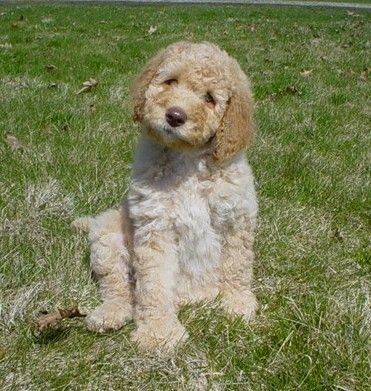Pin By Melody Litzinger On Arf Dogs For Sale Labradoodle Dogs