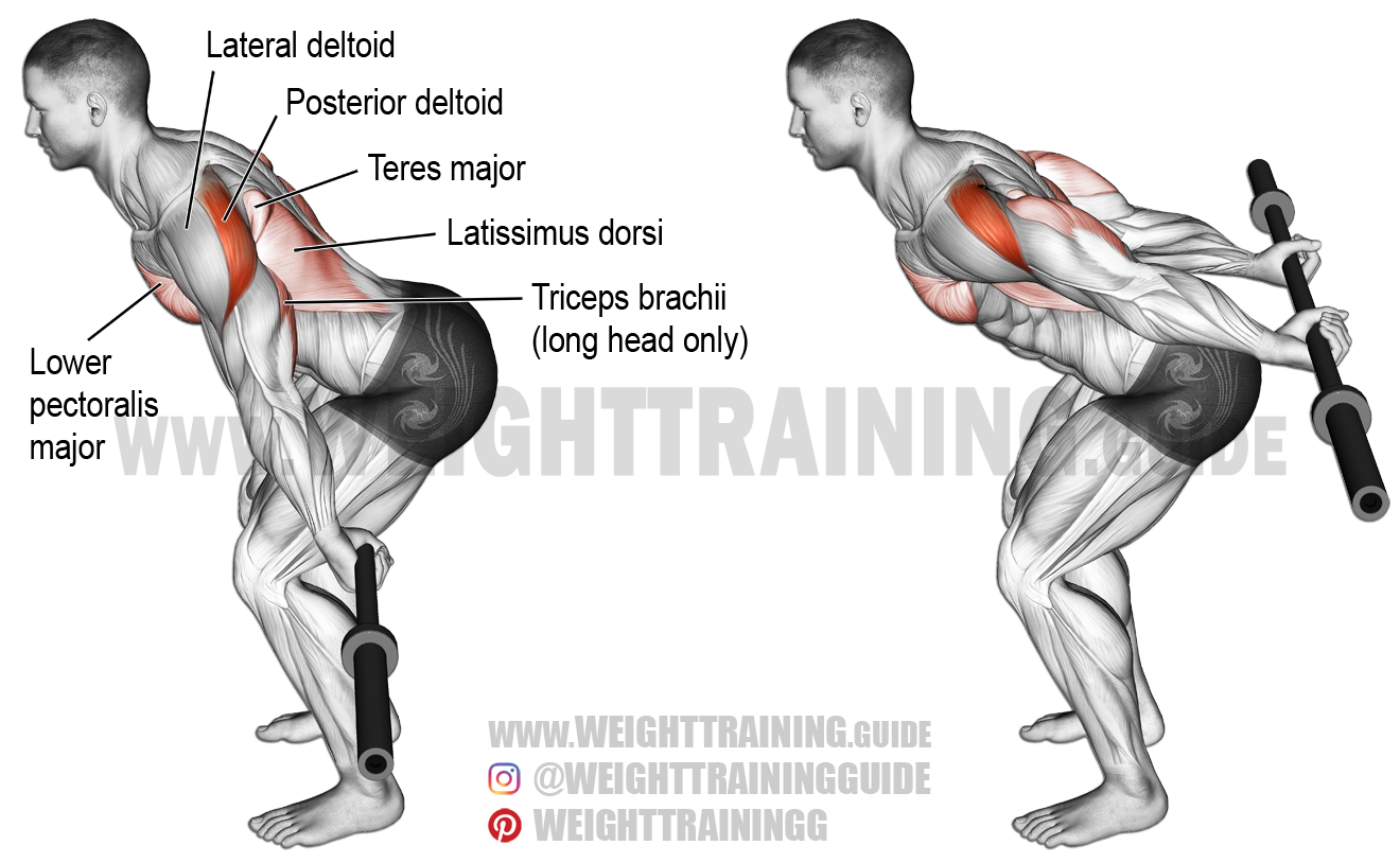 Bent-over barbell reverse raise. An isolation exercise ...
