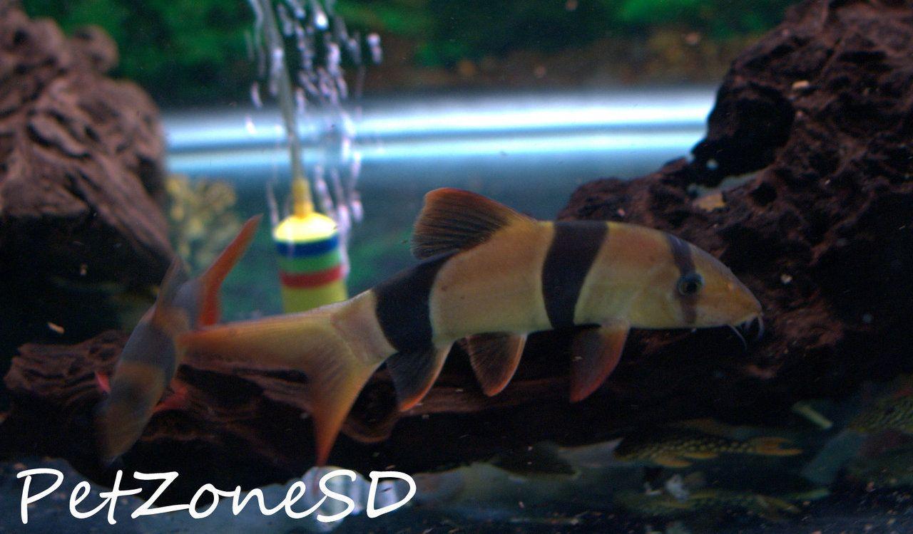 Jumbo Clown Loach Xxl Clown Loach Monster Fishing Tropical Fish