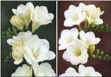 Freesia White Wonder Collection Easy To Grow Bulbs Freesia Flowers Freesia