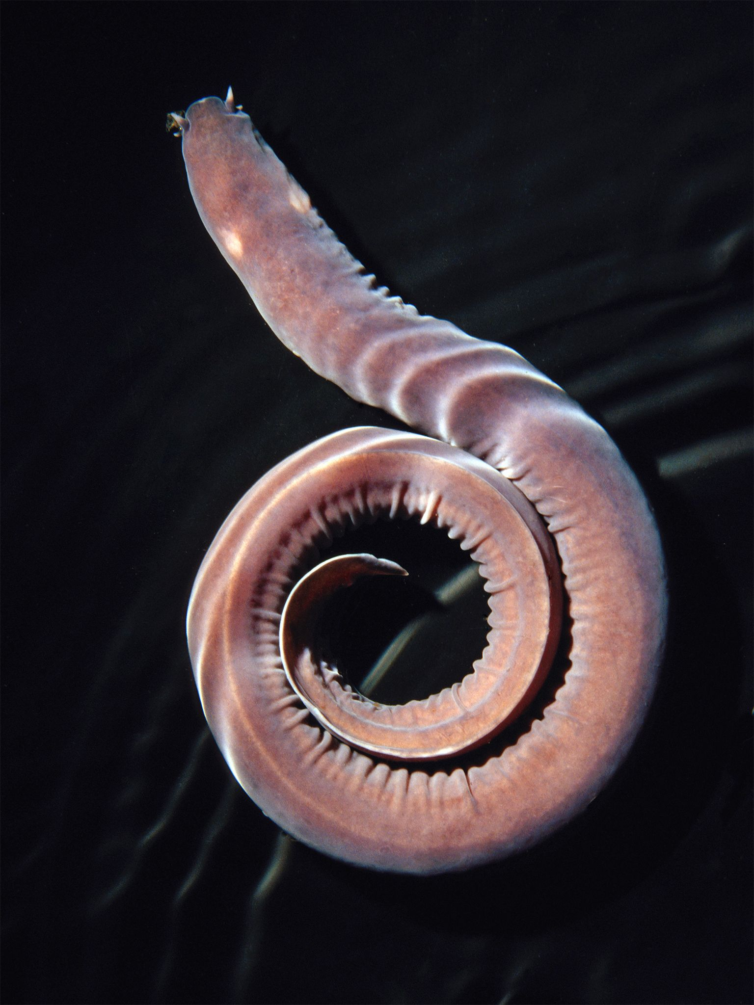 These things produce a slime with tiny fibers in it that will gum up your gills. I don't have gills, but I'd just as soon avoid them anyway.