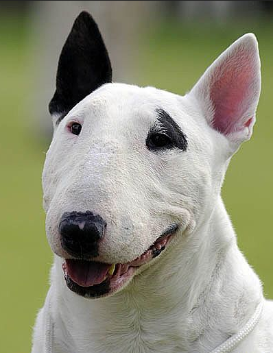 bull terrier types pin by paw paw fashion on dog breeds pinterest dog 4068