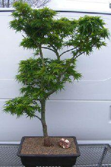Dwarf Japanese Green Maple Bonsai Tree Mikawa Yatsubusa Bonsai Buy Bonsai Tree Bonsai Tree